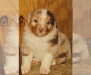 Australian Shepherd Litter for sale in DRAYTON, SC, USA