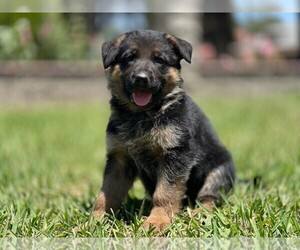 German Shepherd Dog Litter for sale in PERRIS, CA, USA