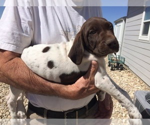German Shorthaired Pointer Litter for sale in EAGLE, ID, USA
