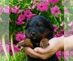 Bernese Mountain Dog-Poodle (Toy) Mix Puppy For Sale in NAPPANEE, IN, USA