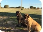 Mastiff Puppy For Sale in PUEBLO, CO, USA
