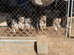 Australian Shepherd Litter for sale in CLINTON, NC, USA