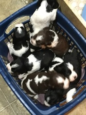 English Springer Spaniel Litter for sale in DENMARK, WI, USA