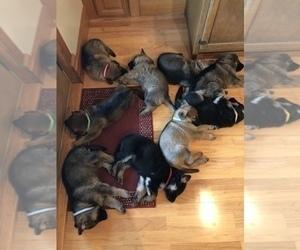 German Shepherd Dog Litter for sale in GARLAND, KS, USA