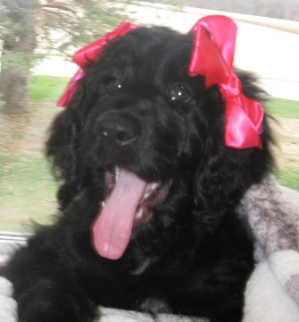 View Ad Newfoundland Poodle Standard Mix Litter Of