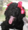 Newfoundland-Poodle (Standard) Mix Puppy For Sale in ETNA GREEN, IN, USA