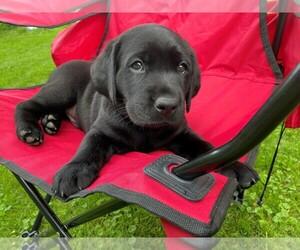 Labrador Retriever Litter for sale in FREDERICKTOWN, OH, USA
