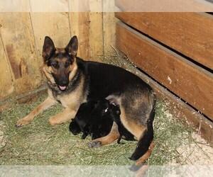 Australian Cattle Dog-German Shepherd Dog Mix Litter for sale in WESTCLIFFE, CO, USA