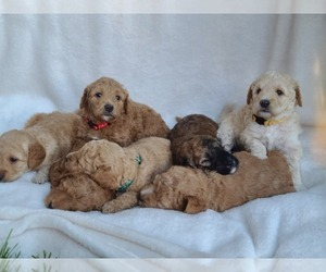 Goldendoodle-Woodle Mix Litter for sale in EAST LAYTON, UT, USA