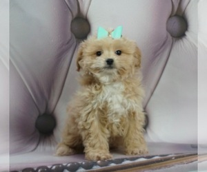 ShihPoo Litter for sale in WARSAW, IN, USA