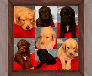 Labradoodle Litter for sale in RALEIGH, NC, USA
