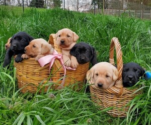 Labrador Retriever Litter for sale in HOMER, GA, USA