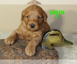 Labradoodle Litter for sale in ALAFAYA, FL, USA