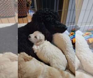 Double Doodle Litter for sale in LOUISA, VA, USA