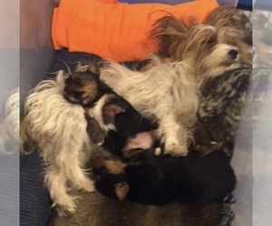 Yorkshire Terrier Litter for sale in ANIMAS, NM, USA