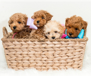 Maltipoo Litter for sale in LITTLE ROCK, AR, USA