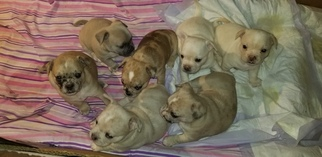 French Bullhuahua Puppy For Sale in DARLINGTON, RI, USA