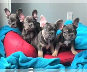French Bulldog Litter for sale in SEATTLE, WA, USA
