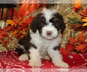 Medium Bernedoodle-Poodle (Miniature) Mix
