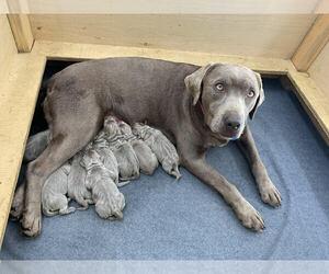 Labrador Retriever Litter for sale in CLINTON, SC, USA