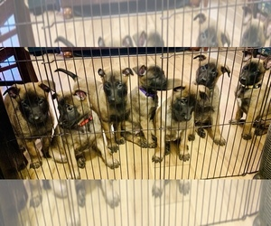 Belgian Malinois Litter for sale in EL PASO, TX, USA