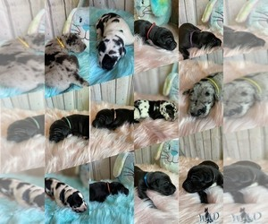 Great Dane Litter for sale in KANSAS CITY, MO, USA