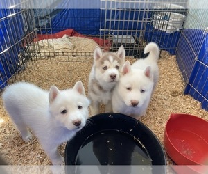 Siberian Husky Litter for sale in HESPERIA, CA, USA