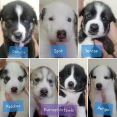 Medium Alaskan Husky-German Shepherd Dog Mix