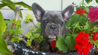 French Bulldog Litter for sale in NEW BRAUNFELS, TX, USA