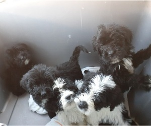 Saint Berdoodle Litter for sale in HENDERSON, NC, USA
