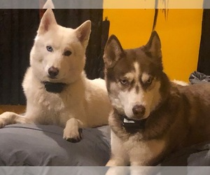 Siberian Husky Litter for sale in SAYLORSBURG, PA, USA