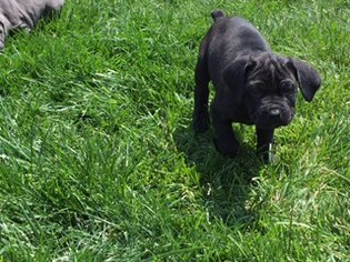 Cane Corso Litter for sale in CHARLOTTE, NC, USA