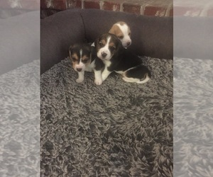 Beagle Litter for sale in MADERA, CA, USA