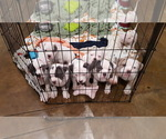 American Bully Puppy For Sale in DICKSON, TN, USA