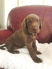 Labrador Retriever Litter for sale in STILWELL, KS, USA
