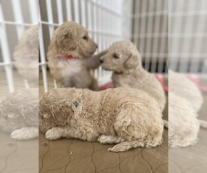 Goldendoodle Litter for sale in ZEBULON, NC, USA