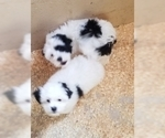 Cavaton Puppy For Sale in HENNIKER, NH, USA