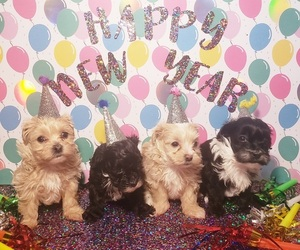 Maltipoo Litter for sale in INDEPENDENCE, MO, USA