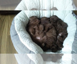Pomeranian Litter for sale in RICE LAKE, WI, USA