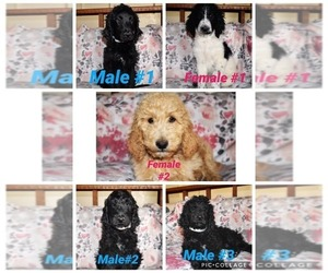 Goldendoodle Litter for sale in YUCCA VALLEY, CA, USA