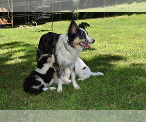 Miniature Australian Shepherd Litter for sale in ERIE, PA, USA