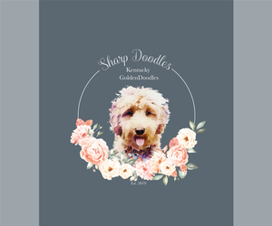 Goldendoodle Litter for sale in KENTONTOWN, KY, USA