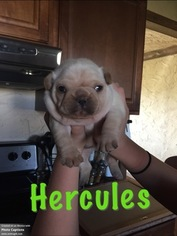 French Bulldog Litter for sale in KAUFMAN, TX, USA
