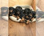 Doberman Pinscher Puppy For Sale in HAYWARD, CA, USA