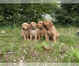 Golden Retriever Litter for sale in MONON, IN, USA
