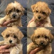 Yorkie-Poo Puppy For Sale in LAKE CITY, FL, USA