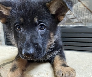 German Shepherd Dog Litter for sale in MOORESVILLE, NC, USA