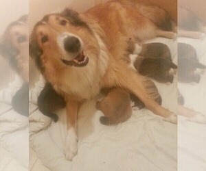 Collie Litter for sale in IRON STATION, NC, USA