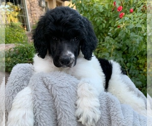View Ad Poodle Standard Litter Of Puppies For Sale Near