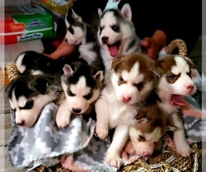 Siberian Husky Litter for sale in LEHIGHTON, PA, USA
